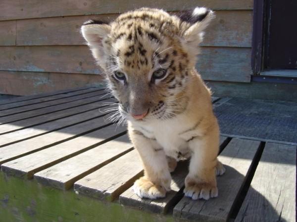 Bébé tigre dans un bagage